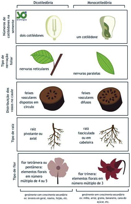 Botânica - Monocotiledõneas e Dicotiledôneas