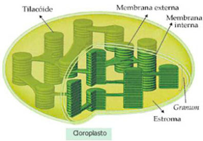 Plastos e fotossíntese
