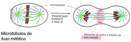 Anel contrátil - citosol
