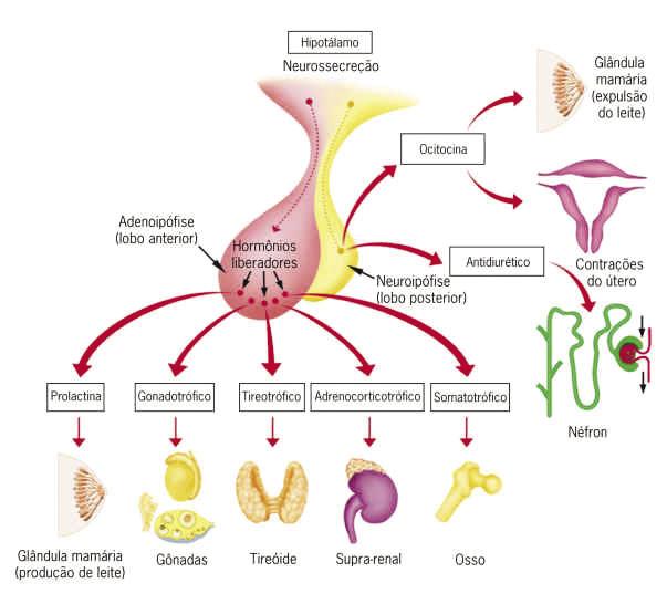 Biologia Enem - Sistema Endócrino