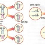 Biologia – Revisão de Genética: Ligação gênica ou linkage