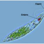 Biologia – Revise as algas protistas unicelulares!