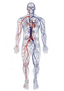 bc05fb9e6dd O sistema cardiovascular é a principal via de transporte de substâncias  pelo nosso corpo. Transporta nutrientes