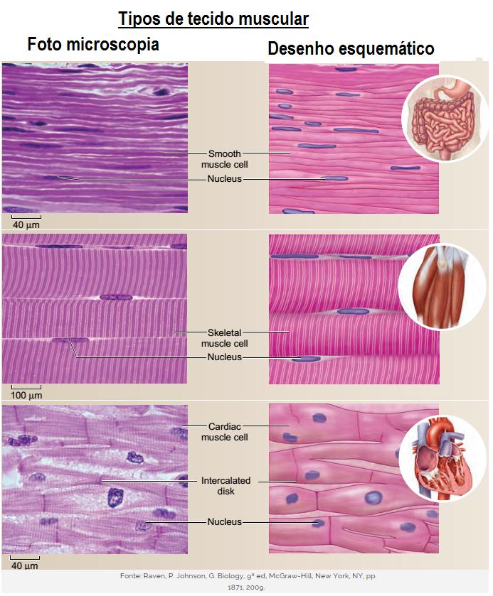 Tecido Muscular – Revise Biologia para arrasar no Enem