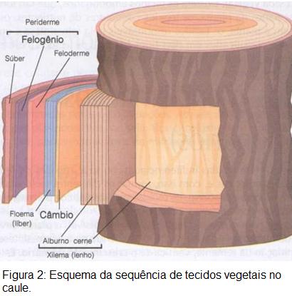 Tecidos vegetais 1 – Revisão de Biologia para o Enem
