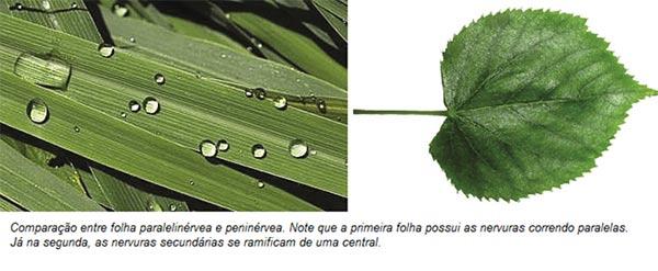 Ramificação das folhas