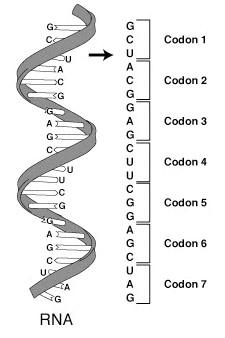 RNA Biologia