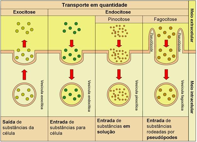 Exocitose