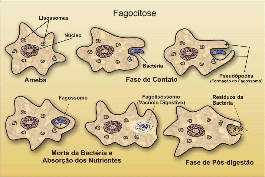 Fagocitose Biologia