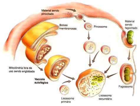 Pinocitose Biologia