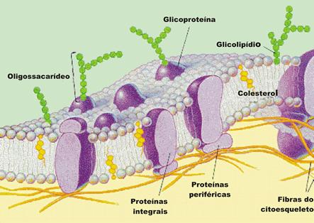 Biologia - membrana plasmática