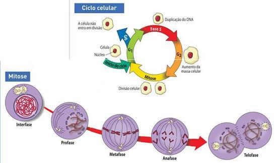Mitose - Biologia