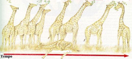 Girafas - Evolução