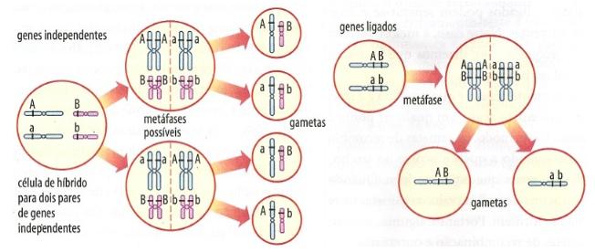 Biologia - Ligação Gênica