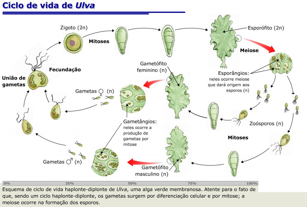 Ciclo de Vida Algas