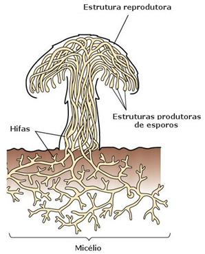Reino Fungi - Fungos