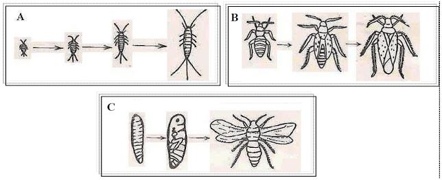 Artrópodes - Insecta
