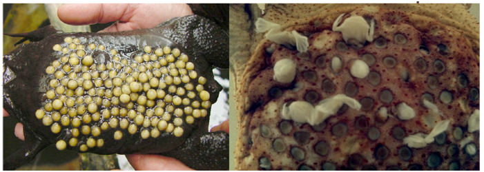 Larvas Ovos Sapo