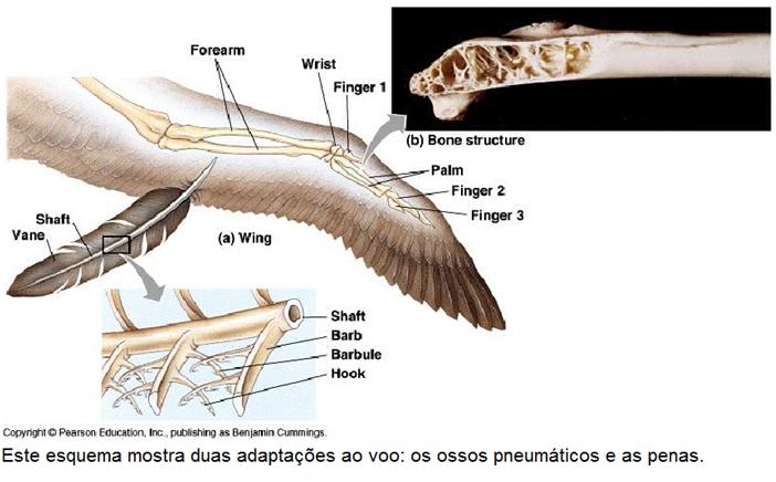 Revise as Aves e suas adaptações ao voo - Biologia