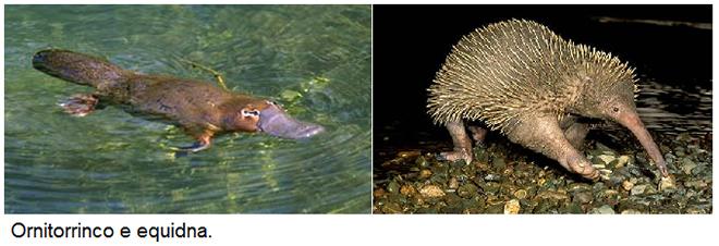 Mamíferos - Ornitorrinco e equidna