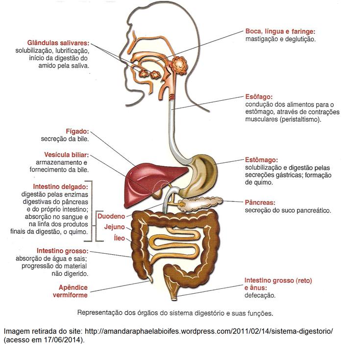 Sistema Digestório - biologia enem
