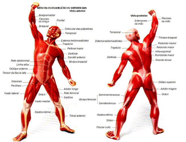 Biologia Enem: Revise o sistema muscular esquelético com Khan Academy