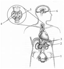 Sistema endócrino – Revise os hormônios com a Khan Academy - Biologia