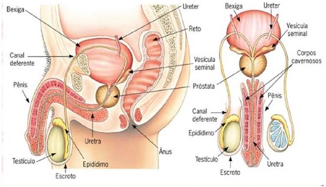 Biologia Enem: Sistema reprodutor genital masculino