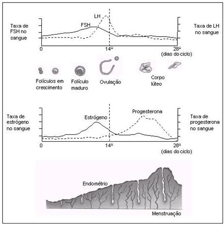 Biologia - Revise o ciclo menstrual