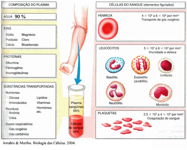 Biologia Enem – Revise os tecidos conjuntivos: sangue e linfa