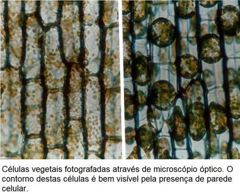 Celulas Vegetais