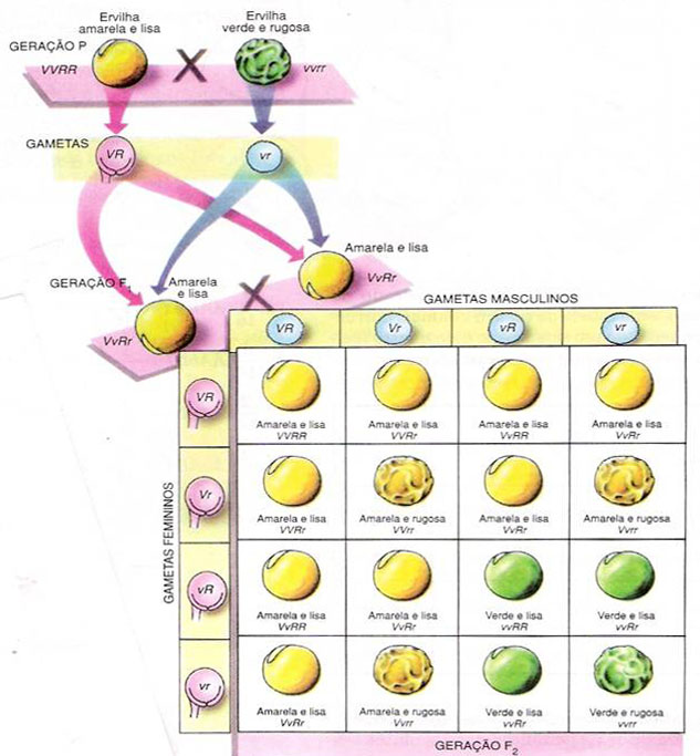 Di-hibridismo - cruzamento de ervilhas