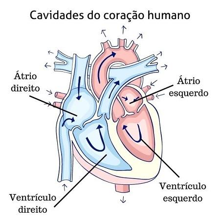 Cavidades do coração humano - características dos mamíferos