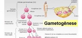 Gametogênese – Revise a produção de Gametas – Biologia.