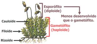 Briófitas - Revisão de Biologia Enem