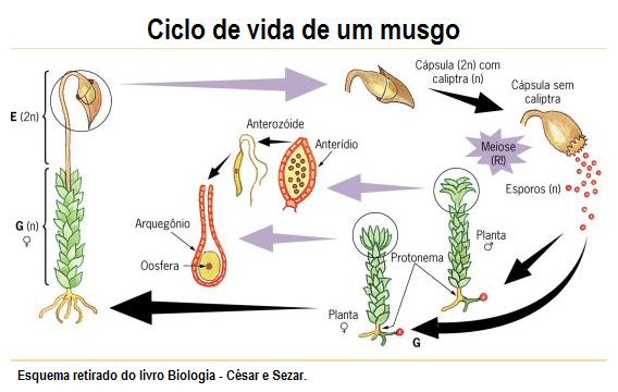 Ciclo de vida do musgo (planta briófita)
