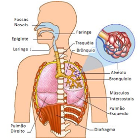 Sistema respiratório - características dos mamíferos