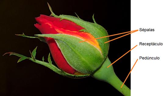 Flores das angiospermas