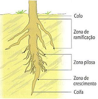 estrutura da raiz