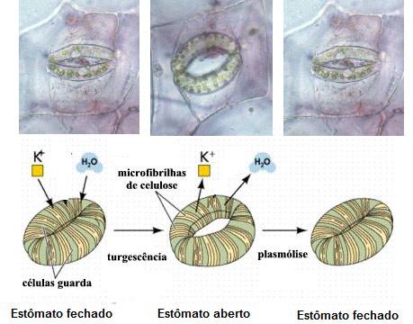 Transporte de seiva bruta: Revise fisiologia vegetal