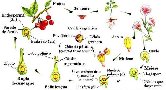 Angiospermas Ciclo