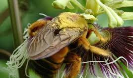 entomofila - Polinização e dispersão das Angiospermas