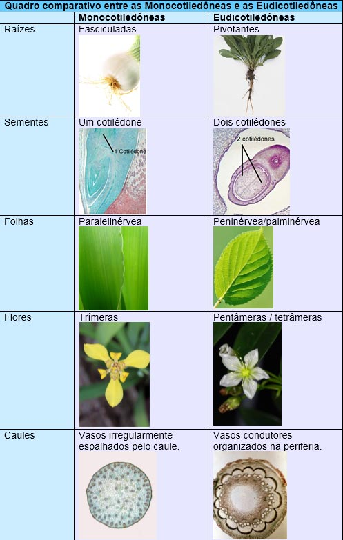 Angiospermas: Monocotiledôneas e Eudicotiledôneas