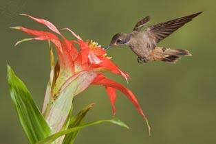 planta ornitófila - beija flor