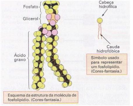 Lipídios - Gorduras e óleos – Revisão de Biologia Enem