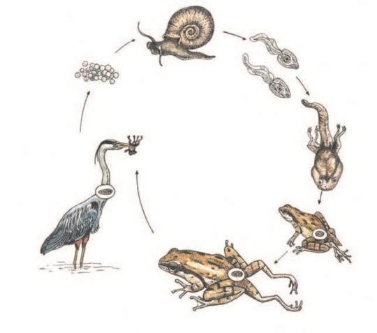 Ciclo reprodutivo do verme Ribeiroia ontatrae que transforma rãs em zumbis.