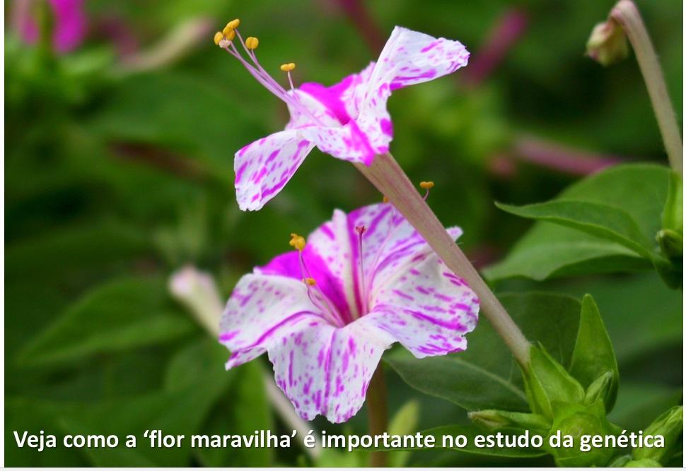 Mirabilis_jalapa flor maravilha