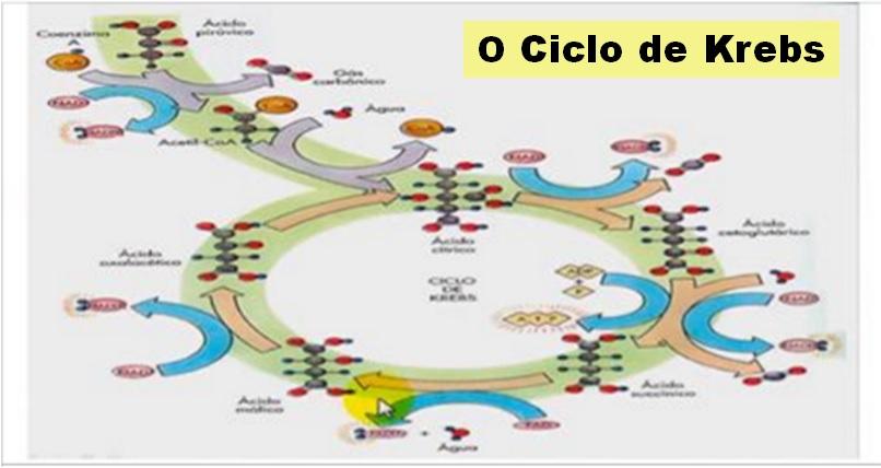 o ciclo de krebs