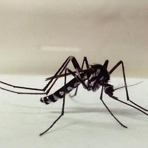 Mosquito do gênero Haemaogus - febre amarela