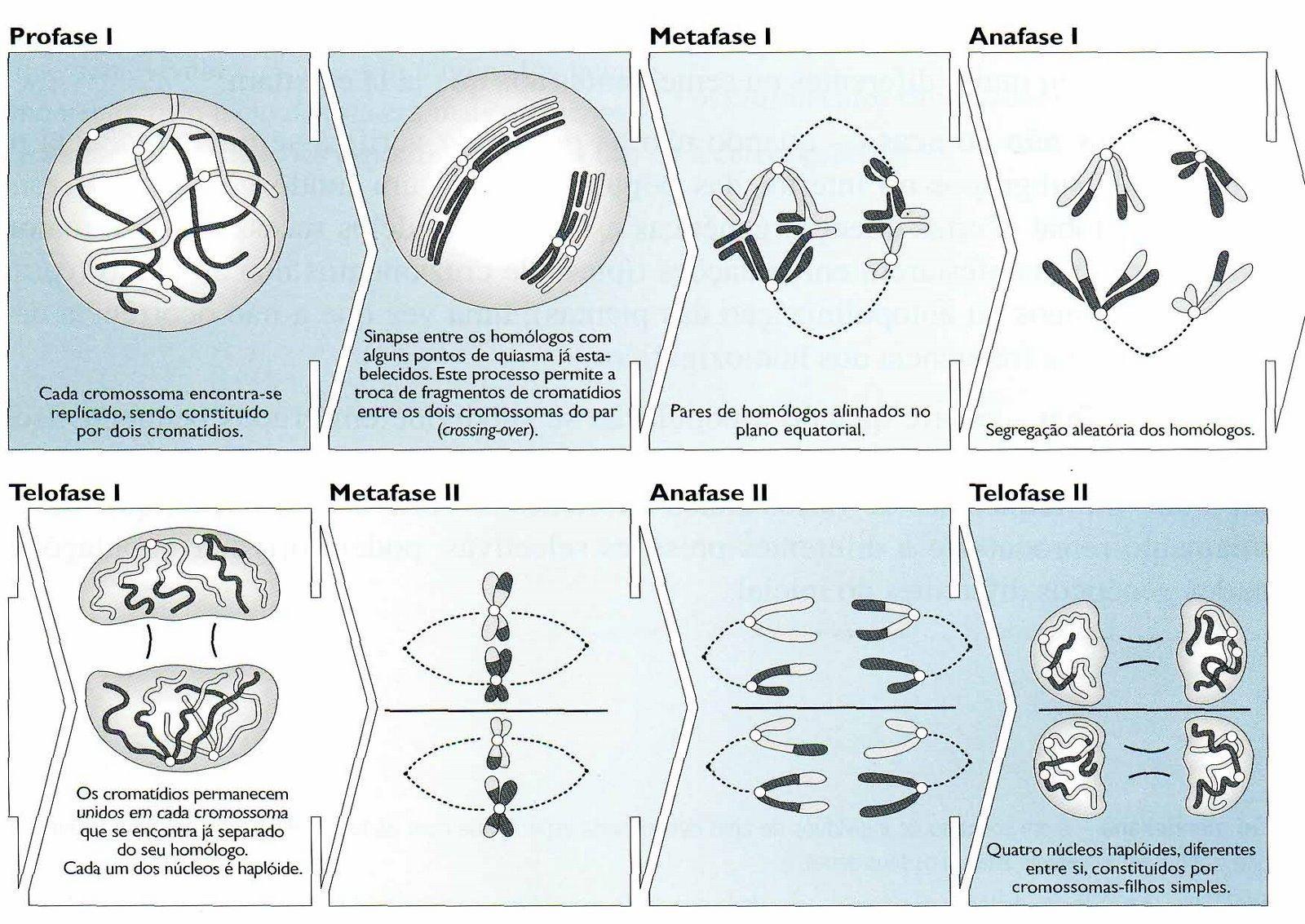 Meiose, divisão celular